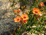 Picture of / about 'Northampton' Western Australia - Northampton District Wildflowers