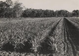 Picture relating to Bowen - titled 'Pineapple farm at Bowen'
