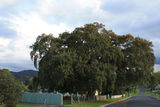 Picture relating to Tenterfield - titled 'Cork Tree, Tenterfield'