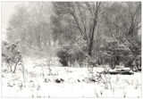 Picture relating to Corin Dam - titled 'Kangaroo Sheltering-From Snow-Corin Forest - ACT'