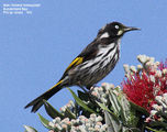 Birds of Phillip Island - #5 - Southern Coastline New Holland Honeyeater, Sunderland Bay, Phillip Island, VIC