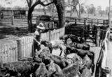 Picture relating to Jambin - titled 'Ken Wilson feeding stock on Coorinya, Jambin, in 1940'