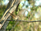 Picture relating to Yass - titled 'White Browed Scrubwren'