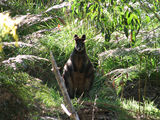 Picture relating to Condor Creek - titled 'Swamp Wallaby on the banks of Condor Creek'