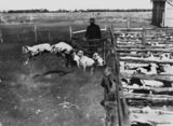 Picture relating to Hughenden - titled 'Sheep in shearing pens at Afton Downs Station, Hughenden'