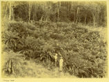 Picture relating to Bunya Mountains - titled 'Tree ferns in the Bunya Mountains, Queensland, ca. 1897'