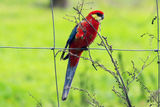 Picture relating to Chichester Range - titled 'Western Rosella'