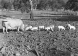 Picture relating to Federal Highway - titled 'Large white sow and piglets at Government hog farm, , off the Federal Highway, Watson.'