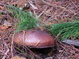 Picture relating to Belanglo State Forest - titled 'Fungi whole'