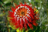 Picture relating to Chichester Range - titled 'Banksia coccinea'