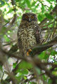 Picture relating to Lake Macquarie - titled 'Powerful owl'