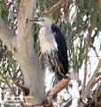 Birds of New South Wales - #12 – Bourke Region White-necked Heron, Barwon River, Brewarrina, NSW