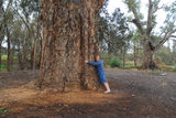 Picture relating to Orroroo - titled 'The big tree'