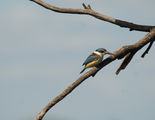 Picture relating to Jugiong - titled 'Kingfisher at the lookout'