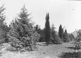 Picture relating to Yarralumla - titled 'Large trees at Yarralumla Nursery'