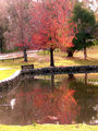 Picture relating to Chichester Range - titled 'Stirk Park, Kalamunda WA  in Autumn'