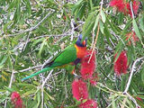 Picture relating to Kiama - titled 'Kiama.  Lorikeet'