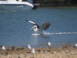 Picture relating to Taren Point - titled 'Pelican Landing'