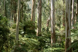 Picture relating to Dandenong Ranges National Park - titled 'Dandenong Ranges National Park'