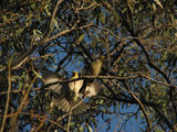 Picture relating to Yass - titled 'Mating Pair of White Plumed Honeyeaters'