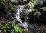Picture relating to Tarra-Bulga National Park - titled 'Tarra-Bulga National Park'