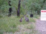 Picture relating to Booroomba Rocks - titled 'Red necked wallabies at Booroomba Rocks'
