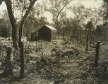 Picture relating to Chinchilla - titled 'Property at Chinchilla after treatment of Prickly Pear by using cactoblastis moths, October 1929'