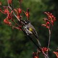 Picture relating to Australian National Botanic Gardens - titled 'New Holland Honey Eater'