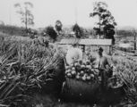 Picture relating to Queensland - titled 'Harvest time for pineapples in Queensland'