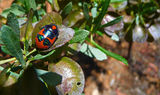 Picture relating to Black Mountain Reserve - titled 'Another picture of the red, orange, black and iridescent green bug'