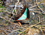 Picture relating to Kooragang Nature Reserve - titled 'Blue Triangle butterfly'