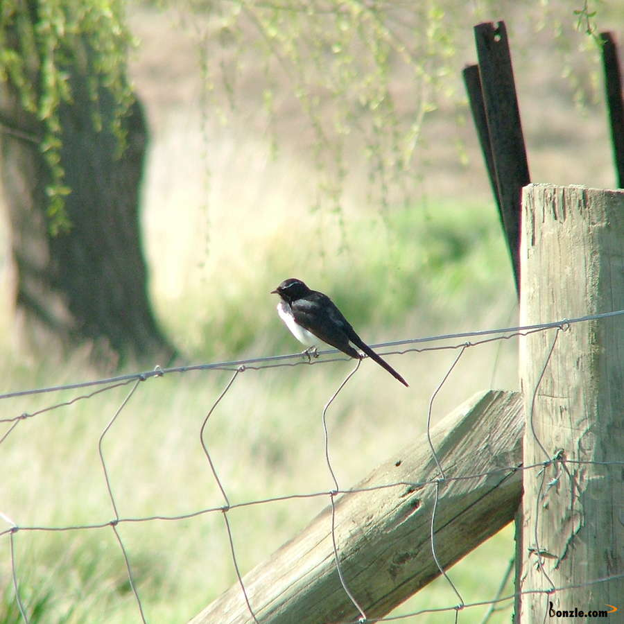 Picture of / about 'Gunning' New South Wales - Willy Wagtail