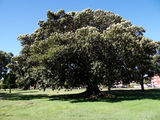Picture relating to Ramsgate Beach - titled 'Tree in Rotary Park'