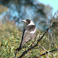 Picture relating to Yass - titled 'Australian Magpie'