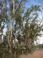 Picture relating to Mildura - titled 'River Red Gums on the banks of the Murray River'