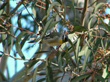 Picture relating to Yass - titled 'Striated Pardalote'