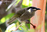 Picture relating to Queensland - titled 'Birds of Queensland - #3 - Bli Bli'