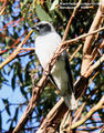 Birds of New South Wales - #5 – Coonabarabran Region Black-faced Cuckoo-shrike, Mendooran, NSW