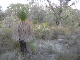 Picture relating to Manjimup - titled 'Manjimup - grass tree in natural habitat'