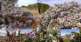 Picture relating to Gascoyne River - titled 'Gascoyne Region - Flowering shrub'