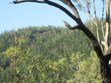 Picture of / about 'Mount Mudlo' Queensland - Natural hoop pine stand