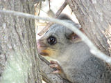 Picture relating to Eurobodalla National Park - titled 'Brush-tail Possum'