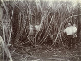 Picture relating to Bowen - titled 'Men and children are dwarfed in the sugar cane fields on Molongo Creek, Bowen, 1921'
