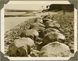 Picture relating to Bundaberg - titled 'Lines of turtles on Mon Repos Beach, near Bundaberg, ca. 1930'