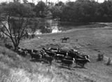 Picture relating to Fernvale - titled 'Cattle pasture on the banks of the Brisbane River'