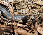 Tiger snake on the trail