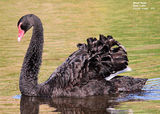 Picture relating to Phillip Island - titled 'Birds of Victoria - #1 (b) - Phillip Island (Swan Lake & The Nobbies)'