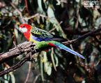 Birds of Victoria - #9 - Heidelberg Region Eastern Rosella, Main Yarra Trail, Viewbank, VIC