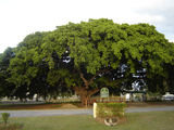 Picture relating to Miriam Vale - titled 'Historic Fig Tree - Miriam Vale'
