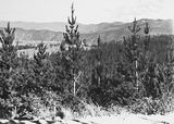 Picture relating to Brindabella - titled 'Pine Plantation, Mount Stromlo with Brindabellas on the horizon.'